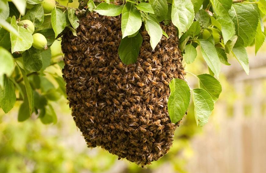 Co zrobić z rojem pszczół w ogrodzie?